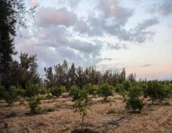 عمان اليوم - بدء حصاد ثمار الزيتون بنيابة الجبل الأخضر في عُمان