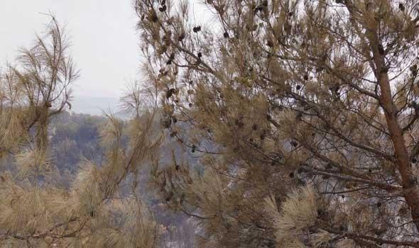 """عمان اليوم - """"شجرة الياس"""" نضارة الطبيعة على سفح الجبل الأخضر في سلطنة عمان"""